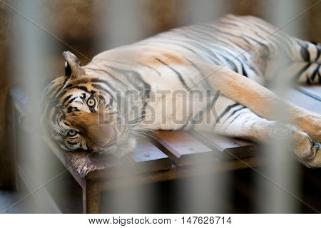 Tiger In A Zoo Cage