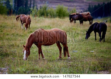 The herd of horses is grazed on a alpine green meadow. Idyllic scenery with grazing horses blue sky and white clouds. Mountain grassland with grazing horses in summer pasture Carpathians Ukraine