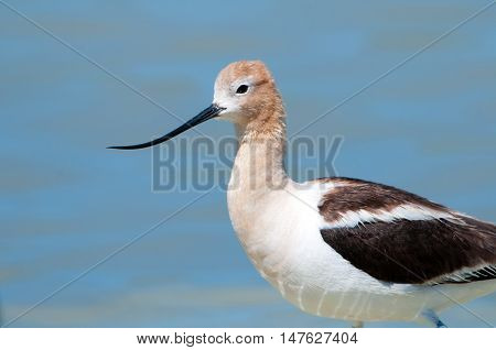 American Avocet in Breeding Plumage, standing in a marsh, blue water background, Oregon, USA