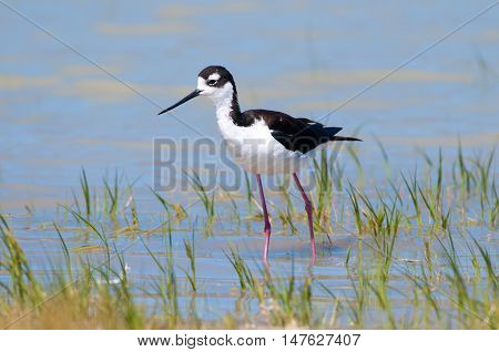 Black-necked Stilt foraging in a Marsh. Blue water background. Oregon, USA