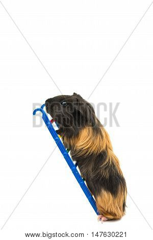 guinea pig animal on a white background