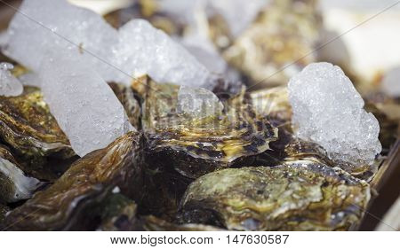 Fresh oysters on ice. Closeup of a clam shell and pieces of ice