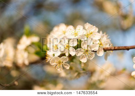 Spring blooming cherry branch delicate, floral, flower