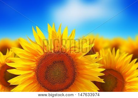 Creative abstract natural background: macro view of single sunflower in front of beautiful field of colorful yellow sunflowers against the deep blue sky with clouds with selective focus effect