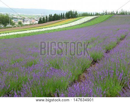 Bright Purple Color of Lavender Field in Hokkaido, Japan