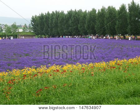 Purple and Green Color of Lavender Field in Hokkaido, Japan
