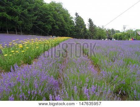 Beautiful Purple Color of Lavender Field in Hokkaido, Japan