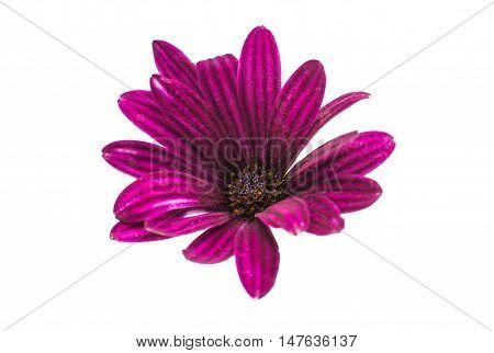 Osteospermum Daisy or Cape Daisy Flower Flower Isolated over White Background. Macro Closeup