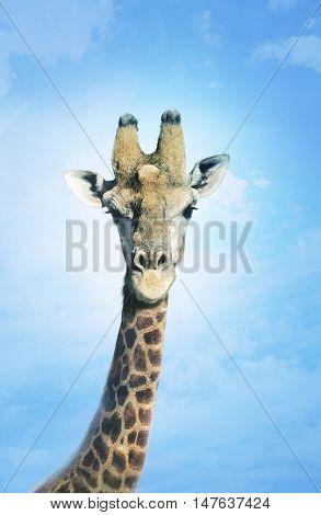 Giraffe head in the clouds