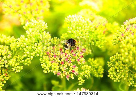 shaggy bumblebee pollinates a flower and drinking nectar