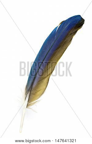 A Single Feather Of A Parrot - The Blue Yellow Feather A Blue-and-gold-macaw.