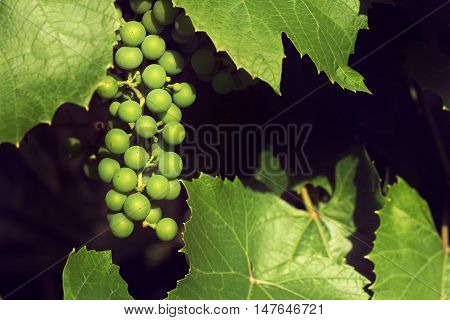 Bunch of young green grapes ripening on a branch at sunset / vineyard in summer