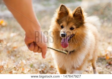 a shetland sheepdog on a little stick