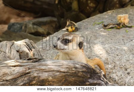 Close up face of meerkat on the stone