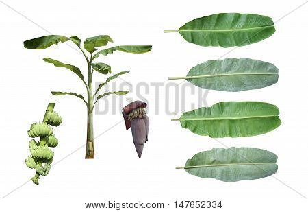 Set of banana tree isolated on white background and have clipping paths all item.