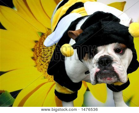 Bulldog Bee With Sunflower Background