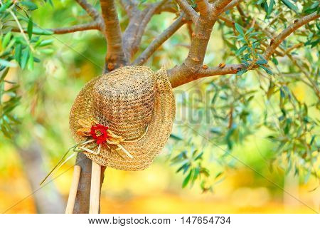 Womens hat on the tree in the olives garden, autumn harvest season, carefree day in countryside, relaxation after work in the garden concept