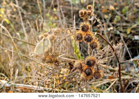 Spines Thistle In The Morning Sunlight Autumn