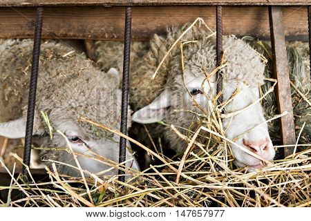 sheep in the corral eating a hay.