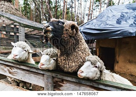 Three Sheep And The Ram In A Pen