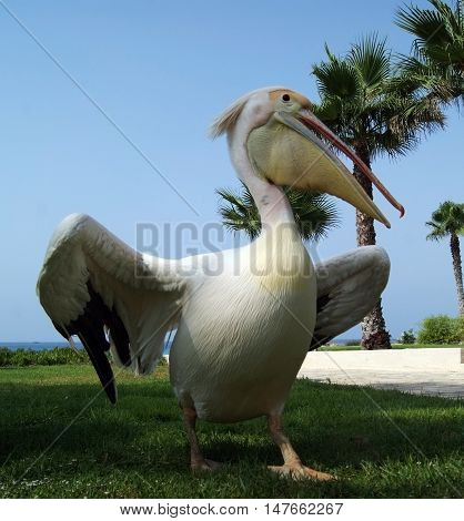 Cyprus Pelican posing for a photograph in the summer