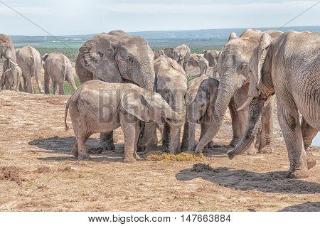 Unusual behavior - several elephants eating fresh dung of an elephant cow