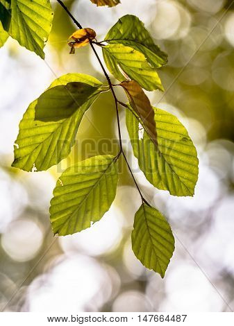 Autum Leaves Of Beech