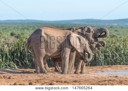 An African Elephant family Loxodonta africana drinking water in sinchronisation