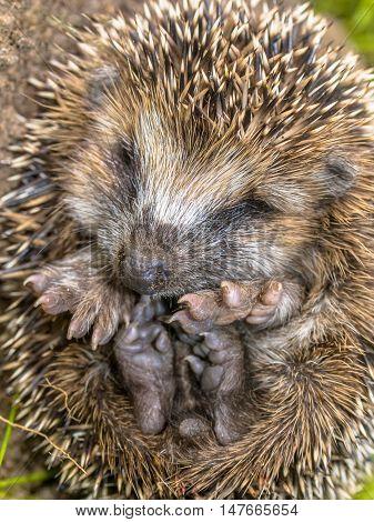 Sleeping Hedgehog Baby Close Up