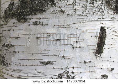 birch bark texture natural background paper close-up