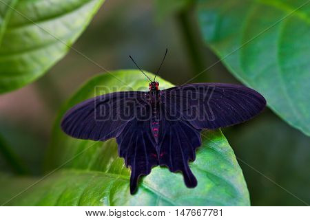 Portrait of black tropical butterfly. Macro photography of wildlife.