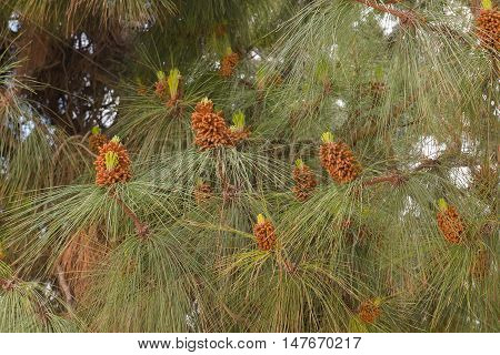 some pine needles close-up in the park
