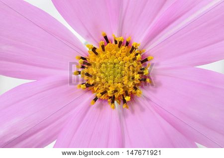 Closeup fragment of a flower with pink petals and yellow stamens