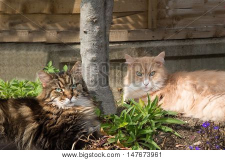 Two Maine Coon cats basking in the shade in a back garden