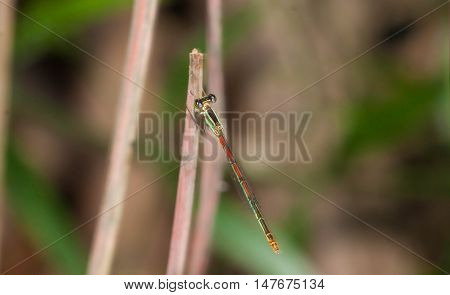 Close up of little Green orange dragonfly