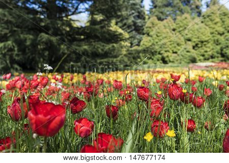 Yellow and red tulips on island Mainau, Lake of Constance, Germany