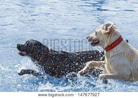 Labrador dogs enjoying water - jumping and running