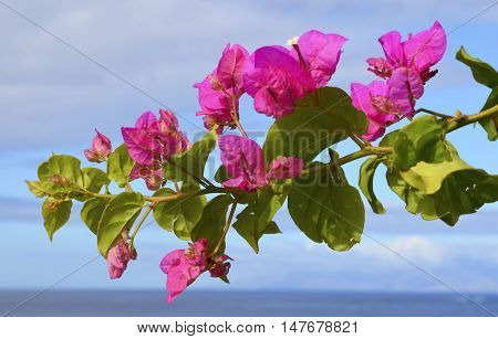 Blooming Bougainvillea branch on a blue sky and ocean water background.