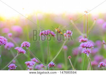 Hummingbird hawk moth (Macroglossum stellatarum) sucking nectar from purple flower (Verbena bonariensis) - Light Burst Effect
