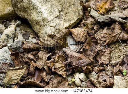 Asia Minor frog shot in the mountainous North Caucasus River Gorge