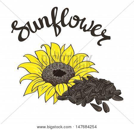 Vector hand drawn yellow sunflower and sunflower seeds.