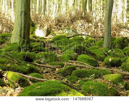 Moss on rocks in deciduous forest in wild nature