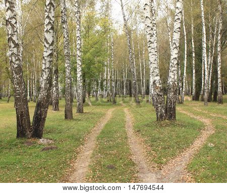 Autumn birch grove in cloudy weather. Beautiful landscape.