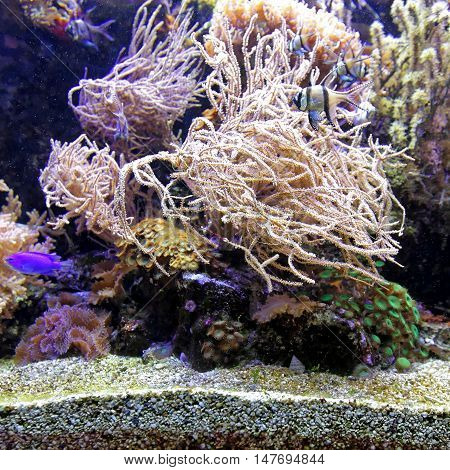 Tropical Coral Reef in Salt Water Aquarium