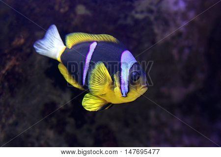 Two Band Clarkii Anemonefish Amphiprion Aquarium Fish