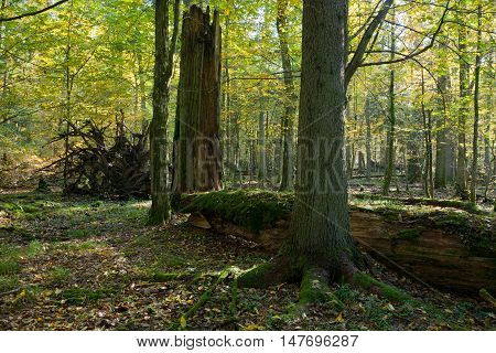 Old linden tree broken lying and sun above in autumnal landscape of deciduous stand, Bialowieza Forest, Poland, Europe