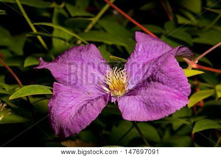 Single Clematis Vine flower against green floral background