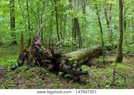 Broken pine tree trung lying rain after among deciduous trees, Bialowieza Forest, Poland, Europe