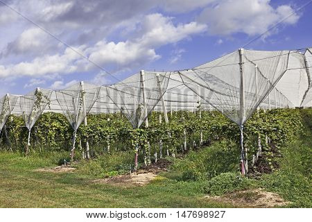 kiwi orchard protected with anti hail net
