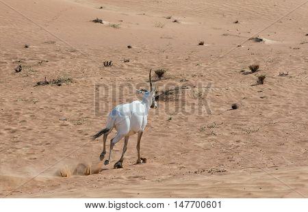 arabian oryx in the desert near Dubai